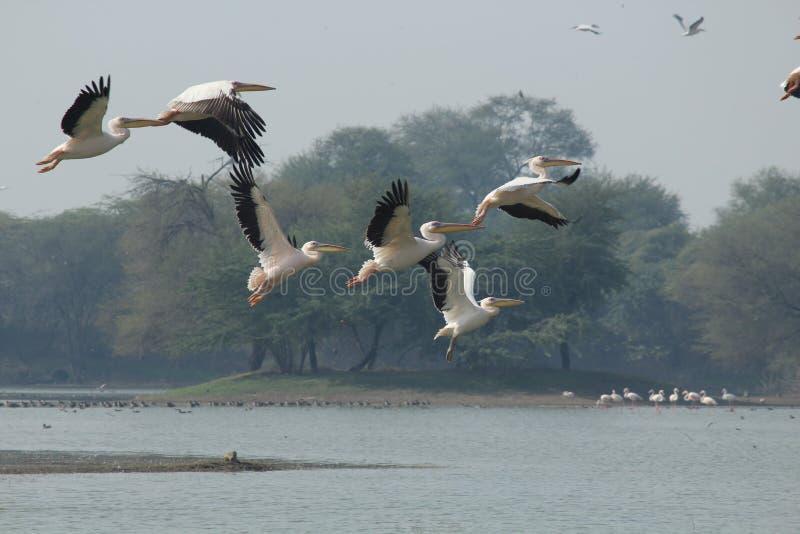 Красота летания - Palican стоковая фотография rf