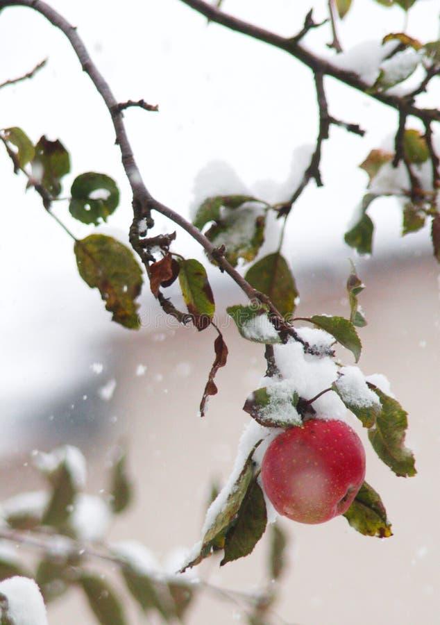 Красота снега зимы ЯБЛОК холодная стоковые фотографии rf