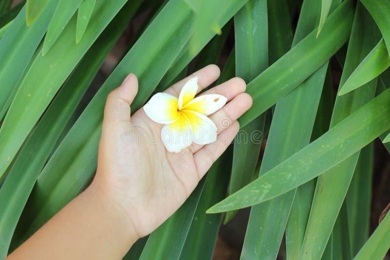 Download Красота цветка Frangipani в наличии Стоковое Изображение - изображение насчитывающей лето, конец: 40577763