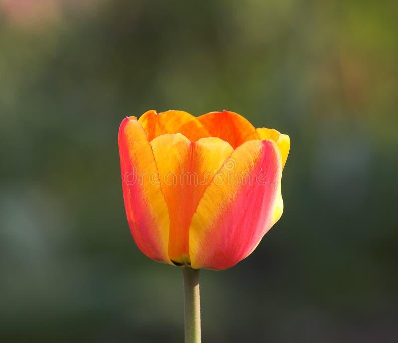 Красотка тюльпана стоковое фото rf