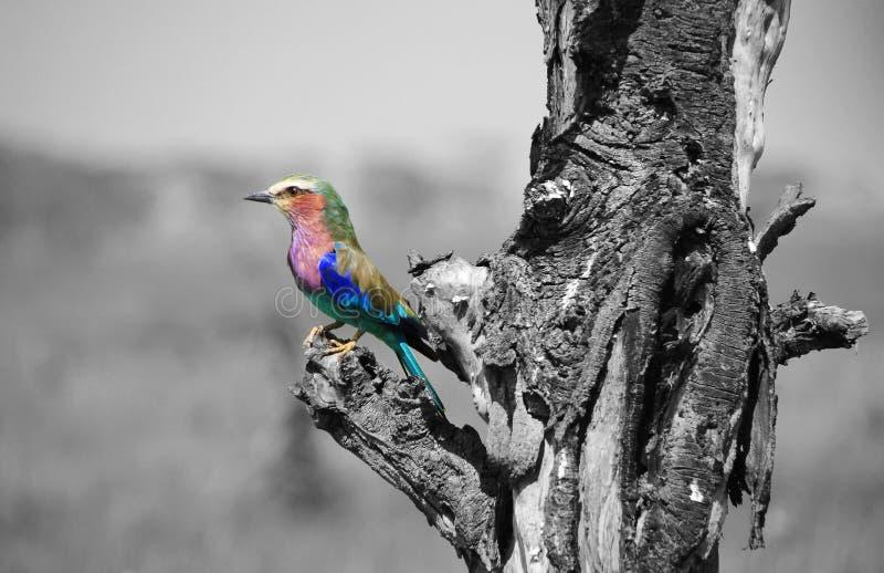 Красочная африканская птица стоковое изображение