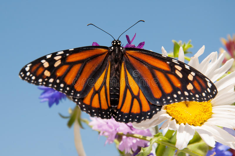 Красочная бабочка монарха апельсина и черноты стоковое фото rf