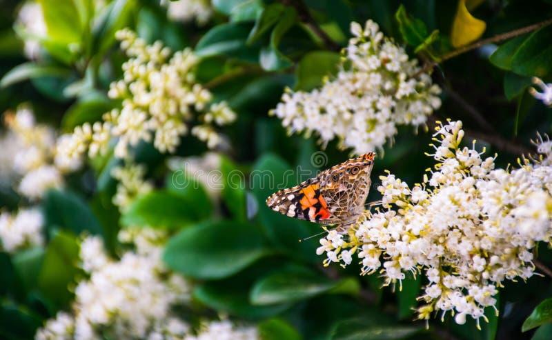 Красочная бабочка монарха подавая на белых цветках стоковая фотография rf