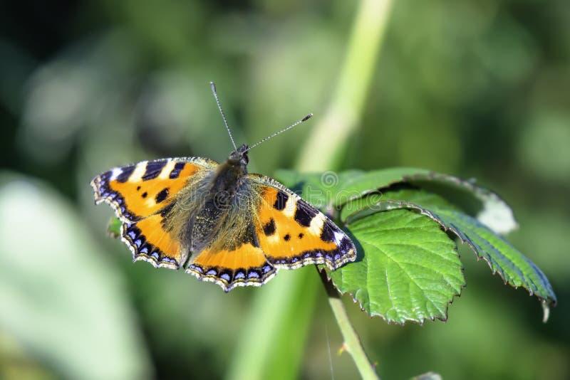 Красочная бабочка, небольшой Tortoiseshell, urticae Aglais, spreadi стоковые изображения rf