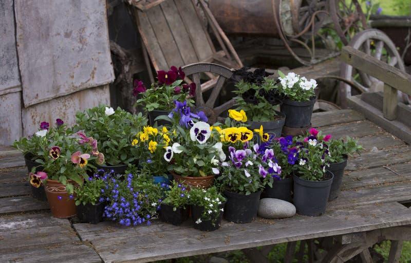 Красочная весна цветет в цветочных горшках в старой деревянной тележке стоковые изображения rf
