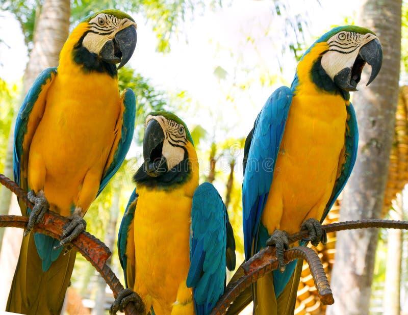 Красочная голубая ара попугая изолированная на белой предпосылке стоковая фотография rf