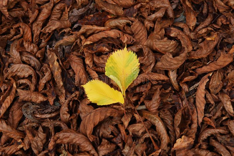 Красочная картина осени упаденных листьев с желтыми лист в середине стоковые фотографии rf