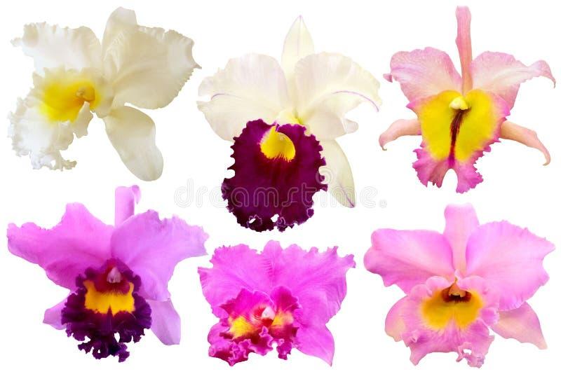 Красочная орхидея изолированная на белой предпосылке бесплатная иллюстрация