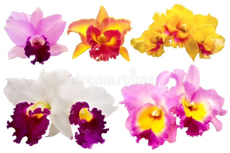 Красочная орхидея на белой предпосылке иллюстрация штока
