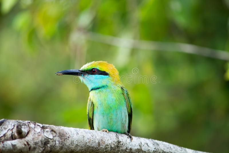 Красочная птица в национальном парке Yala Восточный Пчел-едок в Шри-Ланка стоковое изображение rf