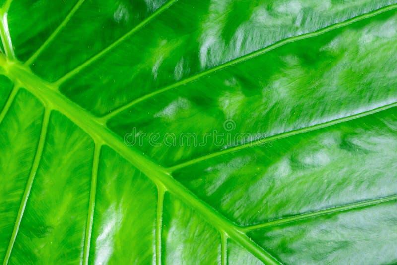 Красочная салатовая предпосылка Ribbe текстуры лист травы банана стоковые изображения