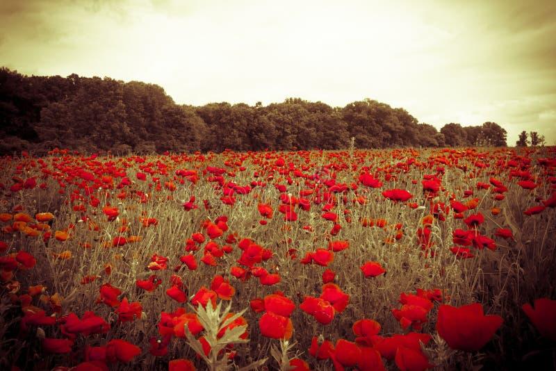 Красочное поле с красными полевыми цветками на туманном заходе солнца стоковые изображения rf