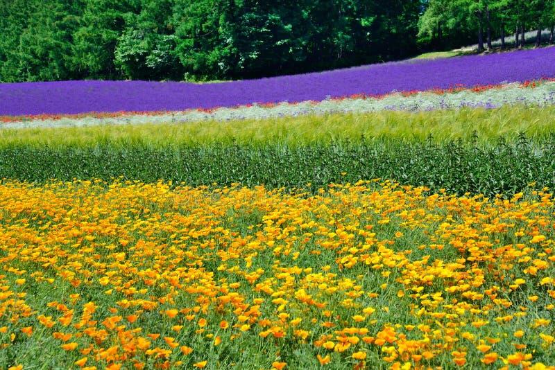 Красочное поле цветка, Хоккаидо, Япония стоковое изображение rf