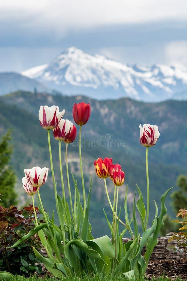 Красочное цветение тюльпанов как шторм двигает над горой кашемира, Вашингтоном, США стоковые изображения rf