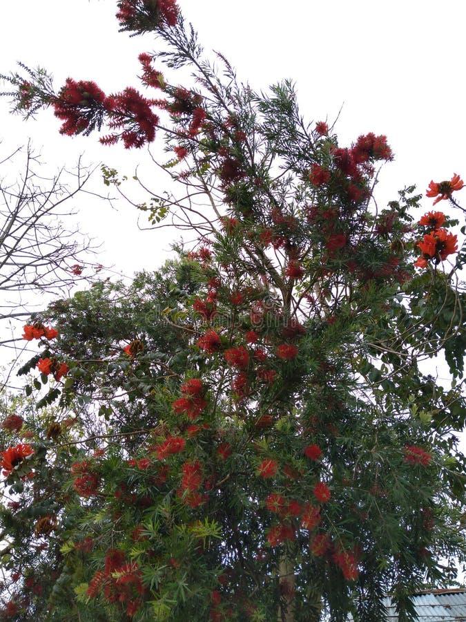 Красочное цветя дерево в части Nagaland около Асома зарезервировало лес стоковая фотография