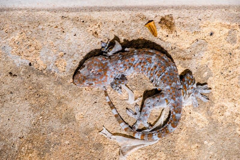 Красочные гекконовые перелиняют на том основании стоковое изображение rf