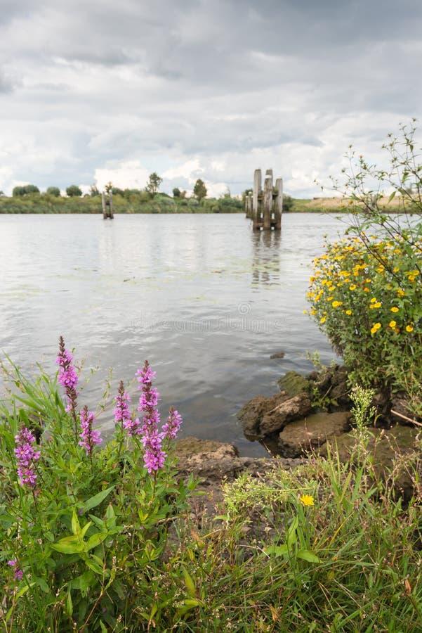 Красочные зацветая дикие растения на речных берегах стоковое фото rf