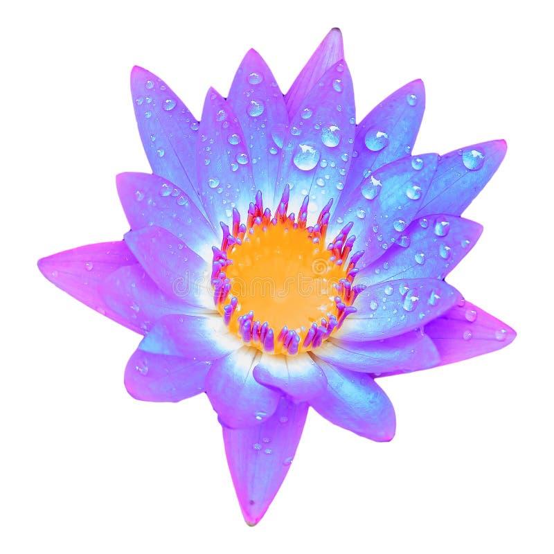 Красочные зацветая розовые лилия воды или цветок лотоса с водой или дождем стоковая фотография
