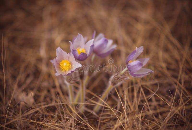 Красочные зацветая цветки пурпурного фиолетового vernus крокуса heuffelianus крокуса высокогорные на весне стоковое изображение