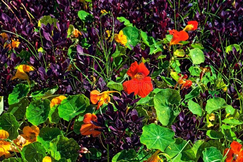 Красочные зеленые и фиолетовые заводы с оранжевыми цветками стоковое фото