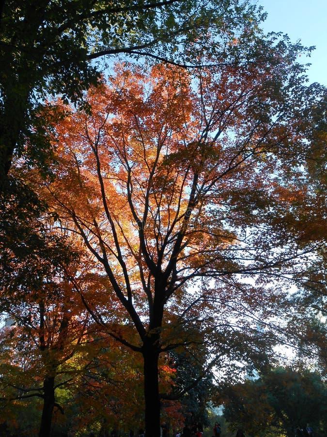 Красочные листья дерева клена в Central Park стоковые изображения rf
