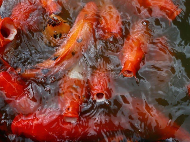 Красочные и голодные рыбы Koi стоковое изображение