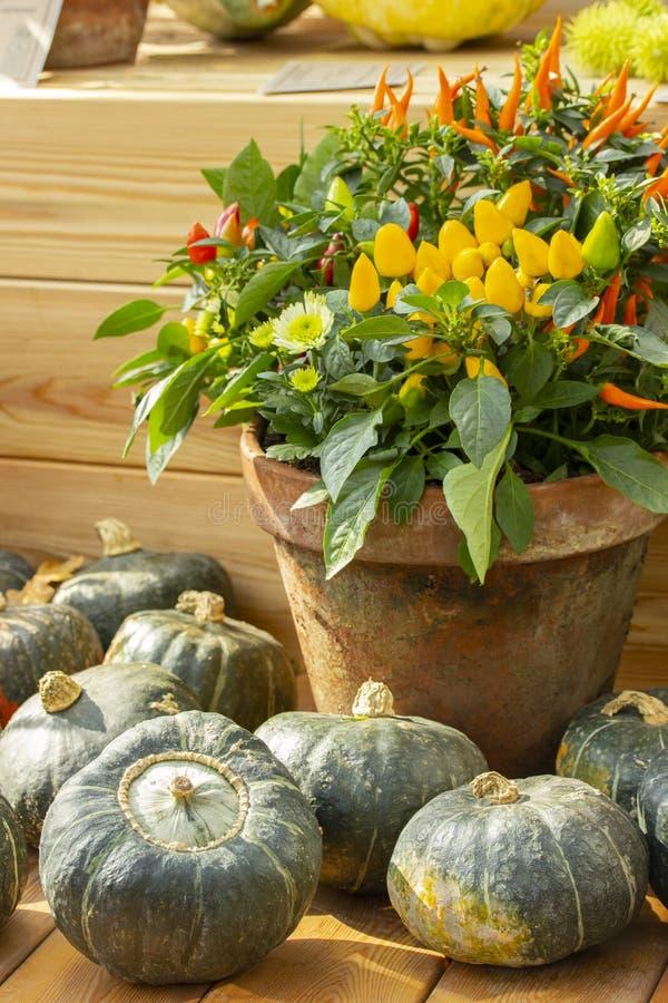 Красочные кусты горячего мини chili перчат красный желтый апельсин окруженный зелеными тыквами стоковые фото