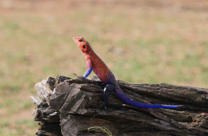 Красочные мужские гекконовые греясь на большом деревянном стволе дерева с естественной предпосылкой стоковое фото