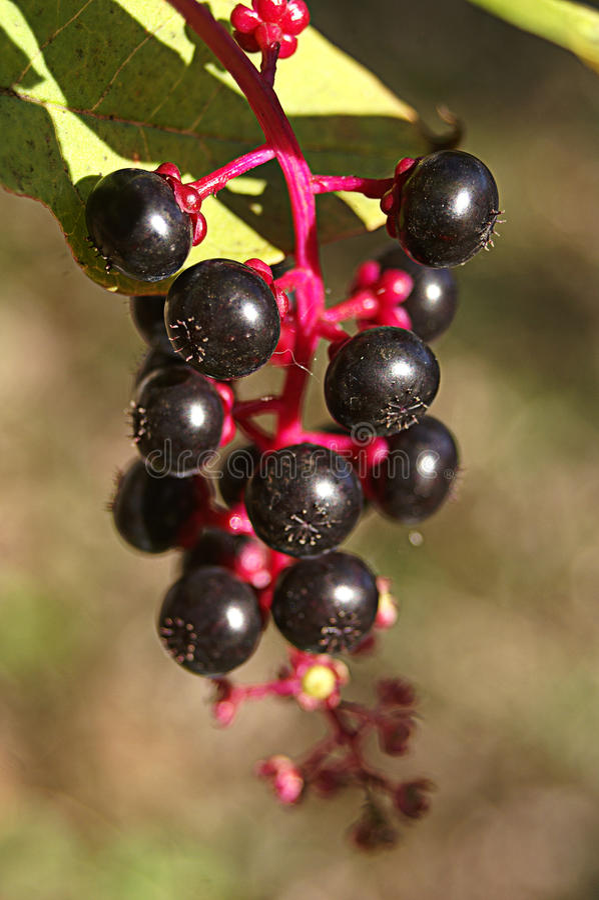 Красочные одичалые ягоды стоковые фото