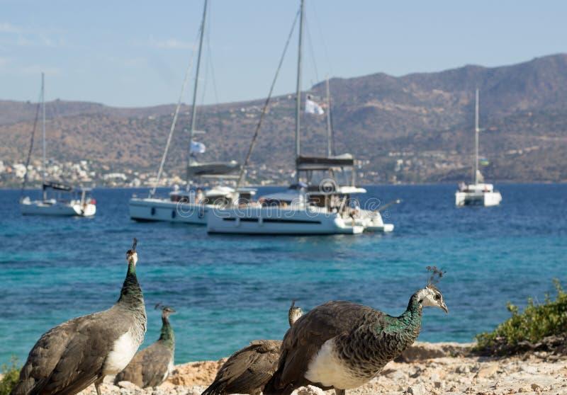 Красочные павлины идут на прибрежные утесы наблюдающ яхтами и катамаранами стоковая фотография rf