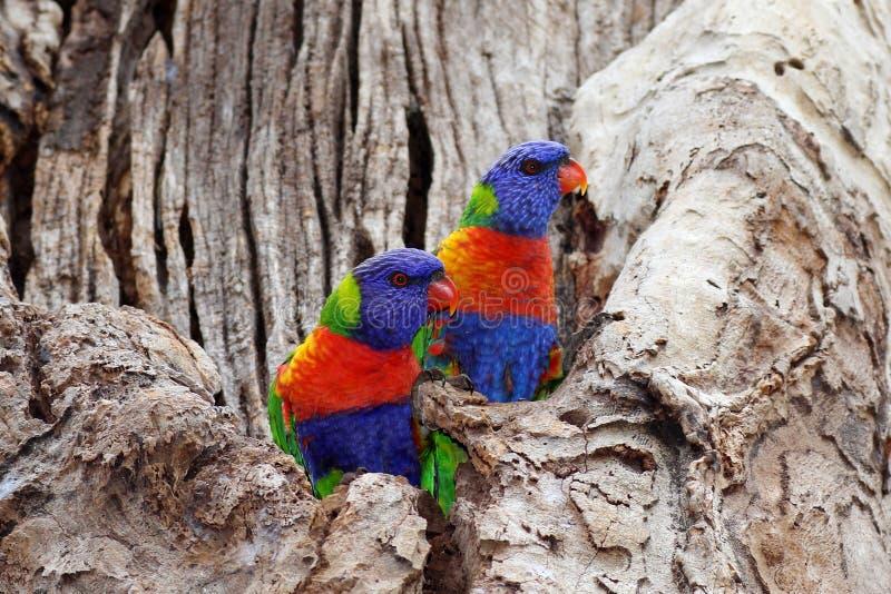 Красочные птицы в monochrome дереве стоковые изображения rf