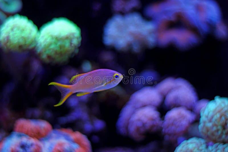 Красочные рыбы в танке аквариума рифа стоковая фотография