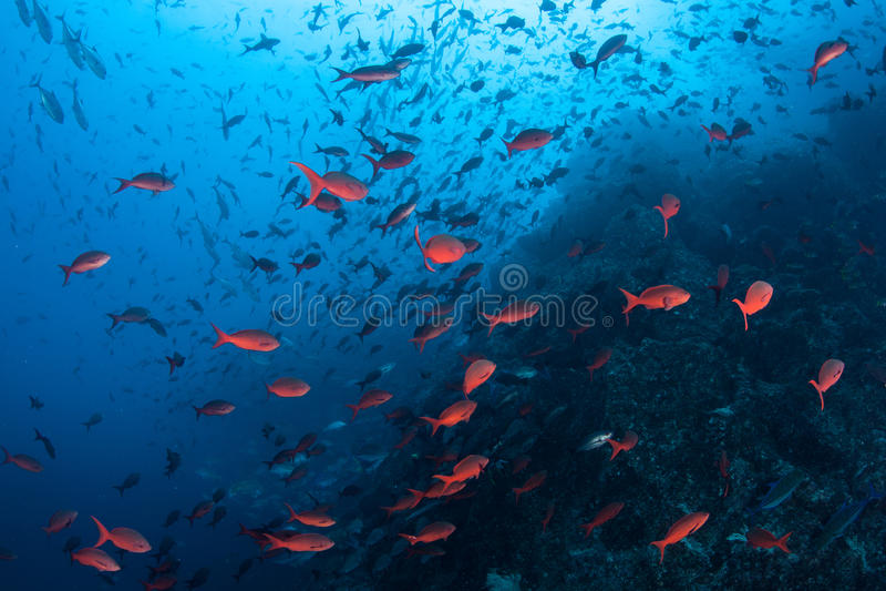 Красочные рыбы плавая около скалистого рифа стоковое фото