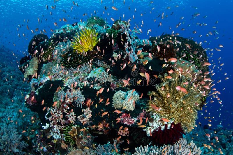 Красочные рыбы рифа в Индонезии стоковое изображение rf