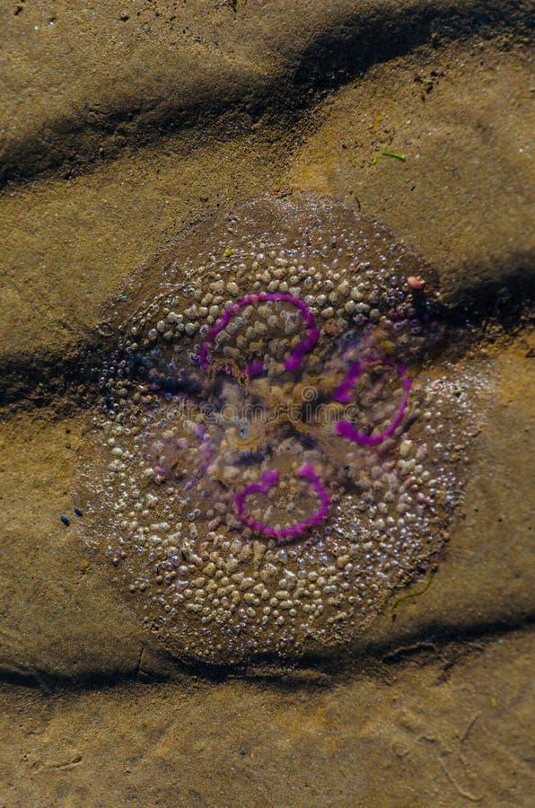 Красочные рыбы студня на песке стоковые изображения rf