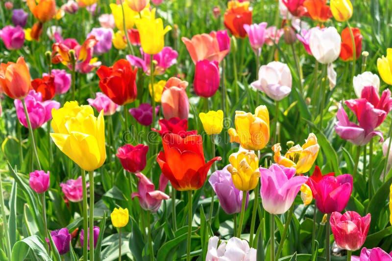 Красочные тюльпаны в парке - ландшафт весны стоковая фотография rf