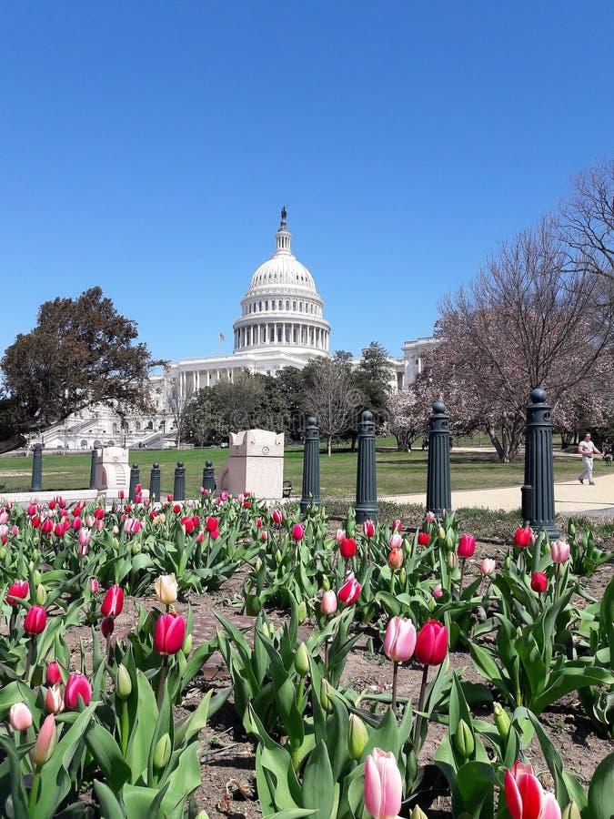 Красочные тюльпаны за Capitolium стоковое фото