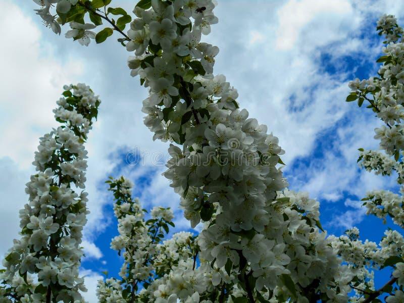 Красочные цветения Яблока против предпосылки голубого неба Сень деревьев обрамляя ясное голубое небо стоковые фотографии rf