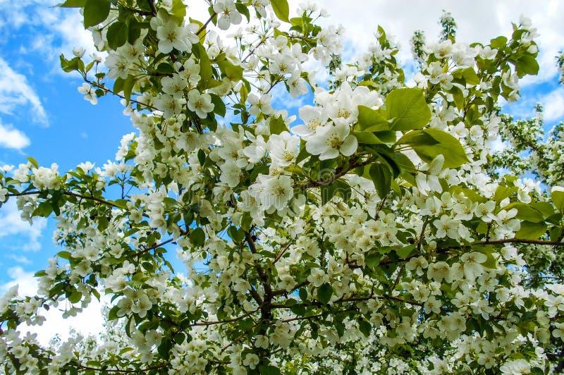 Красочные цветения Яблока против предпосылки голубого неба Сень деревьев обрамляя ясное голубое небо стоковые фото
