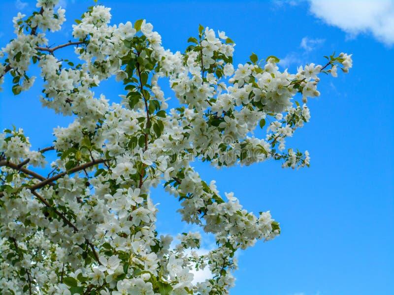 Красочные цветения Яблока против предпосылки голубого неба Сень деревьев обрамляя ясное голубое небо стоковые изображения rf