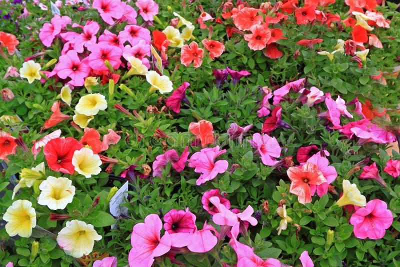 Красочные цветки ежегодников стоковое фото