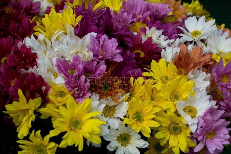 Красочные цветки маргаритки сочетания из стоковые изображения