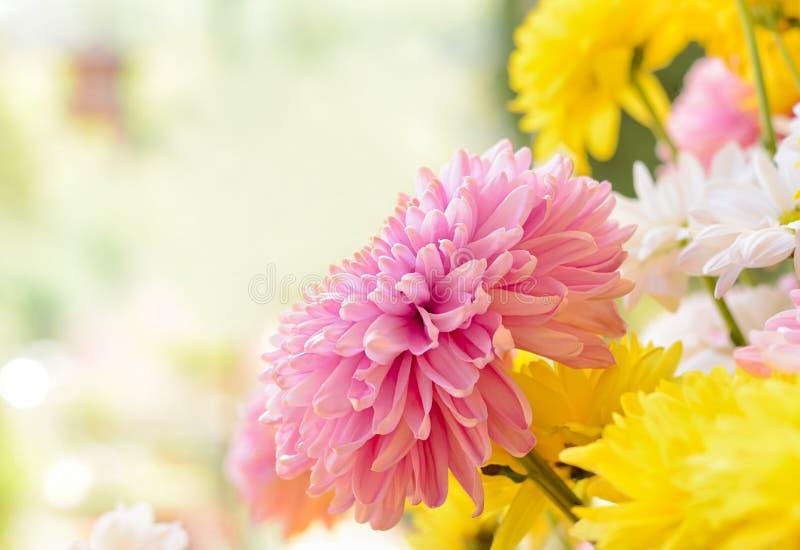 Красочные цветки хризантемы как назад смолотый стоковые фотографии rf