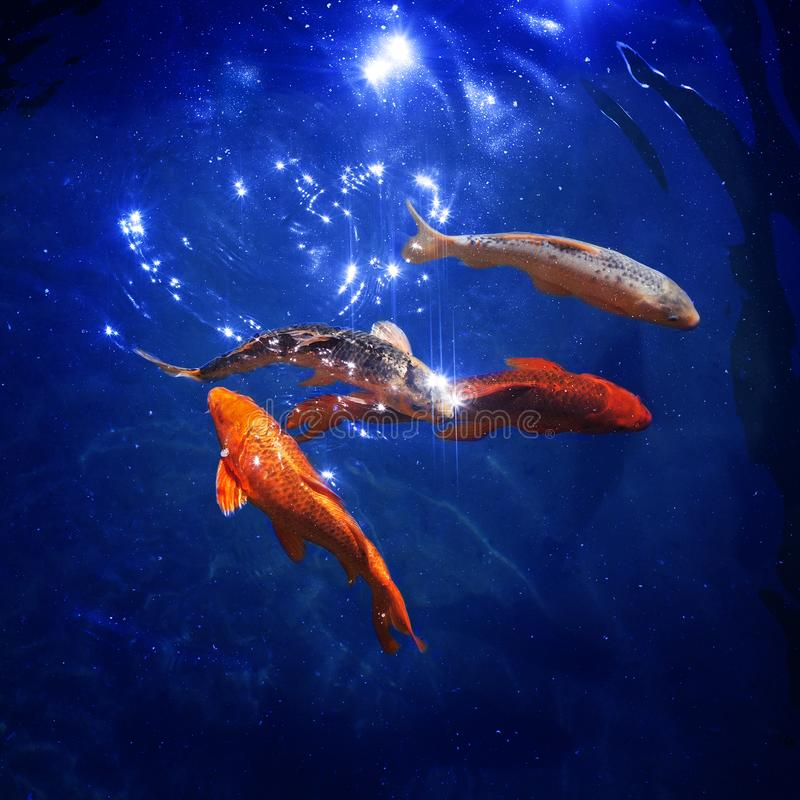 Красочные японские карпы koi плавают в конце пруда вверх, рыбки ныряют в голубой сияющей воде, красивых тропических золотых рыбах иллюстрация штока