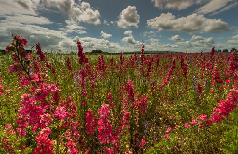 Красочные Delphiniums в поле стоковые фото