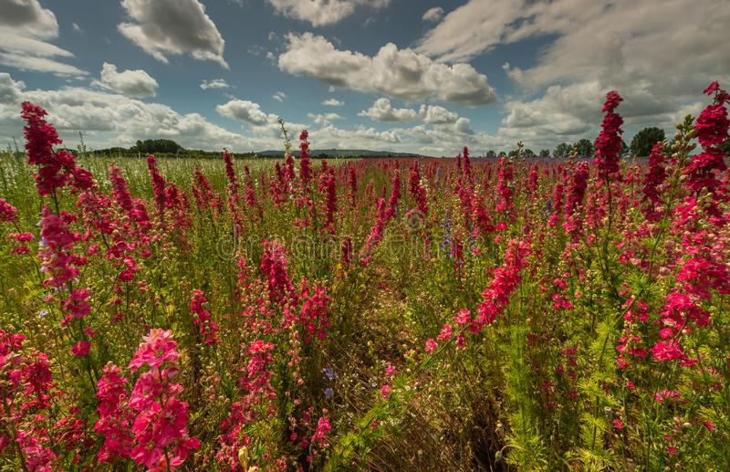 Красочные Delphiniums в поле стоковое фото