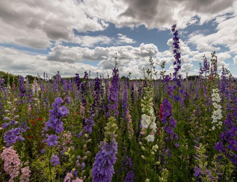 Красочные Delphiniums в поле стоковое изображение