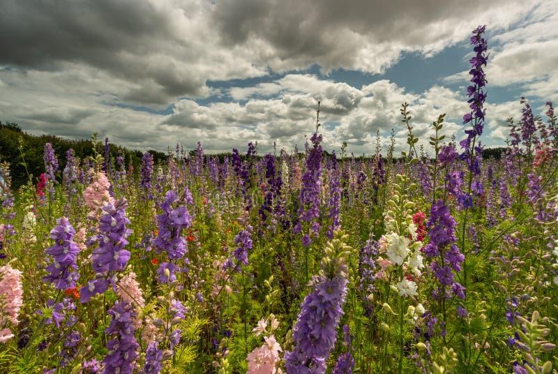 Красочные Delphiniums в поле стоковые изображения