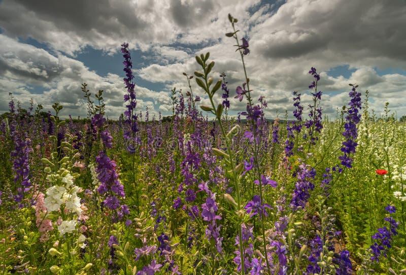 Красочные Delphiniums в поле стоковая фотография rf
