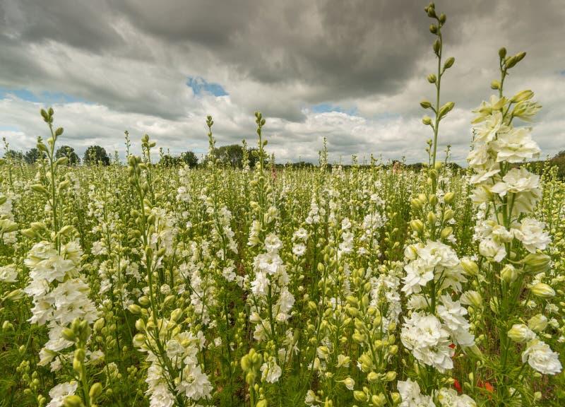 Красочные Delphiniums в поле стоковая фотография